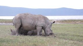 Courtship games of rhinos stock video footage