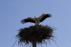 Courtship games of storks. Storks in the nest against the sky Stock Image