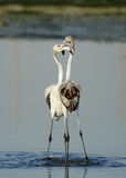 Courtship of Greater Flamingos Stock Images