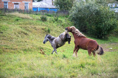 Courtship horses. Courtship horses in the village royalty free stock photos