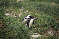 Courtship the male and female African Penguin in the grass, Stock Photo