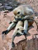 Courtship in Monkeys. Display of courtship behaviour in black faced monkey Royalty Free Stock Photos