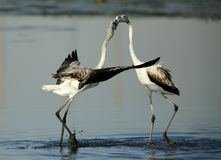 Courtship of a pair of Greater Flamingos Stock Photos