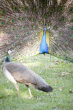 Courtship Peacock Style Royalty Free Stock Images