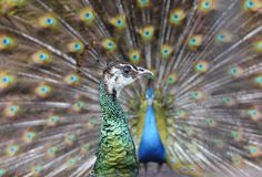 Courtship of peafowl Stock Photography