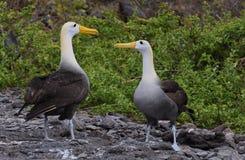 Albatross courtship galapagos. Courtship ritual of the albatross on Espagnola Island Hood - Galapagos stock image