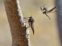 Courtship ritual of robber fly Stock Photos