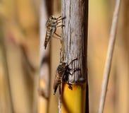 Courtship of robber flies Stock Photos