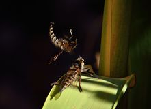 Courtship of robber flies Stock Photo