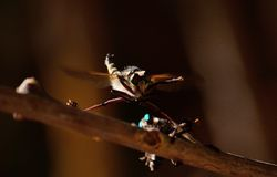 Courtship of robber flies Stock Photography