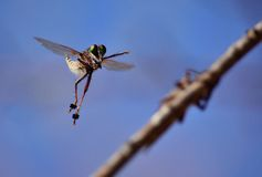 Courtship of robber flies Royalty Free Stock Photo