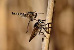 Courtship of robber flies Stock Photo