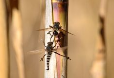 Courtship of robber flies Stock Image