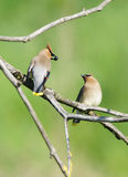 Courtship Of Two Cedar Waxwings Stock Images