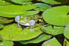 Courtshipping liten waterfrog i ett damm arkivfoto