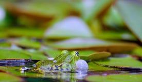 Courtshipping liten waterfrog i ett damm royaltyfri bild