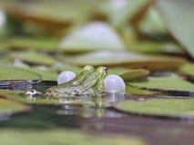 Courtshipping liten waterfrog i ett damm royaltyfria bilder