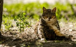 Three-colored striped cat sitting in the shade. In the courtyard there is a beautiful three-colored striped cat. He likes to sit in the shade of a tree and wash stock images