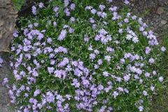 Coussin de subulata fleurissant de phlox au printemps image stock