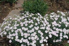 Coussin fleurissant du rose de jardin blanc photo libre de droits