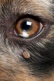 Coutil attaché à côté de l'oeil d'un berger australien image stock