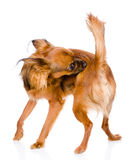 Coutil et puce de nettoyage d'individu de chien D'isolement sur le fond blanc Image stock