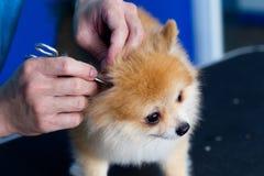 coutils dans des oreilles de chien image libre de droits