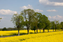 Coutry road and yellow rape fields. A country road in Germany is framed by yellow blooming rape fields Royalty Free Stock Image