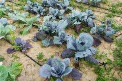Couve azul fresca no jardim Foto de Stock