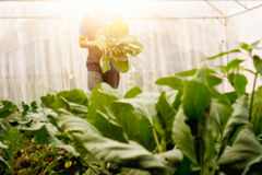 Couve chinesa orgânica da colheita macia do homem da imagem na estufa NU Fotografia de Stock Royalty Free