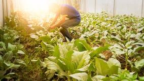 Couve chinesa orgânica da colheita macia do homem da imagem na estufa NU Fotos de Stock