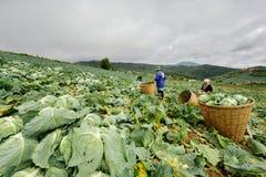 A couve coloca com os trabalhadores que colhem a couve na terra, o 3 de junho de 2016 Imagens de Stock Royalty Free