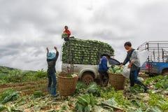 A couve coloca com os trabalhadores que colhem a couve na terra, o 3 de junho de 2016 Fotos de Stock Royalty Free