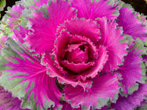 A couve cor-de-rosa. Fotografia de Stock Royalty Free