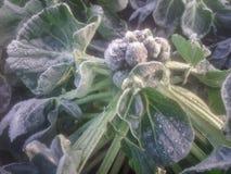 Couve-de-bruxelas coberto com a geada no inverno foto de stock