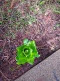 Couve de jaritataca na floresta tropical tropical de Alaska fotografia de stock royalty free