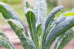 Couve de Tuscan ou couve preta na planta no jardim Crescimento italiano da couve ou do lacinato da couve do inverno na fileira na fotos de stock