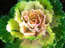 Couve decorativa da flor Fotos de Stock