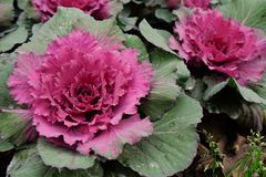 Couve decorativa multicolorido na flor - couve fresca que cresce no jardim fotos de stock royalty free