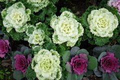 Couve decorativa multicolorido na flor - couve fresca que cresce no jardim imagem de stock royalty free