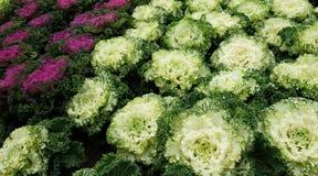 Couve decorativa multicolorido na flor - couve fresca que cresce no jardim fotografia de stock royalty free