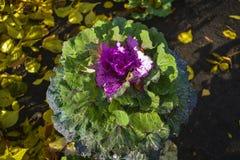 couve-flor Fotografia de Stock Royalty Free