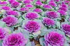 Couve-flor colorida Imagens de Stock Royalty Free