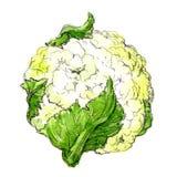 Couve-flor da aquarela isolada ilustração stock