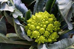 Couve-flor dos bróculos de Romanesco Fotografia de Stock