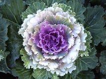 Couve-flor fresca Foto de Stock