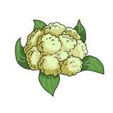 couve-flor Ilustração do vetor isolada no fundo branco ilustração stock