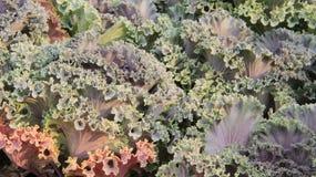 Couve Ornamentel folhas do verde imagem de stock royalty free