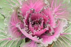 Couve roxa Foto de Stock Royalty Free
