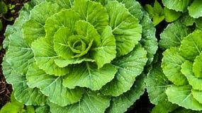 Couve verde da flor Fotos de Stock Royalty Free